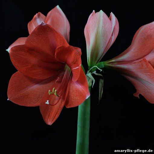 warum die hippeastrum arten als amaryllis bezeichnet werden. Black Bedroom Furniture Sets. Home Design Ideas