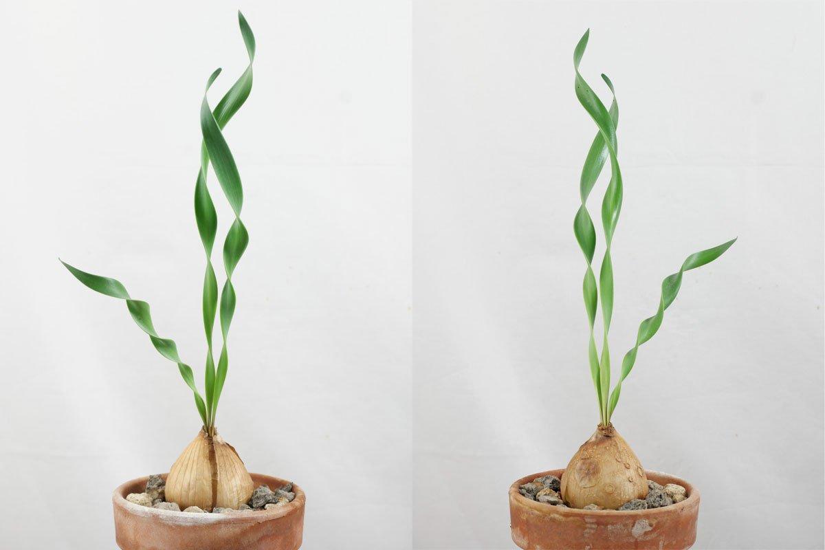 Cyrtanthus-spiralis