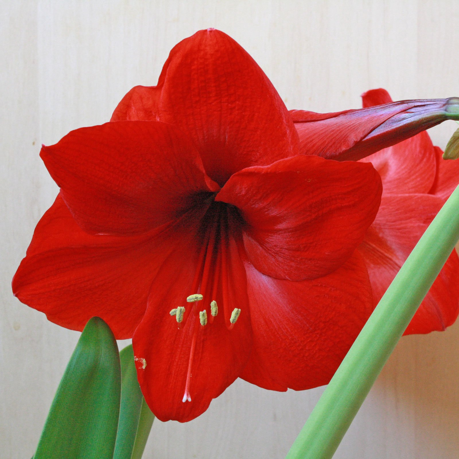 hippeastrum amaryllis red lion. Black Bedroom Furniture Sets. Home Design Ideas