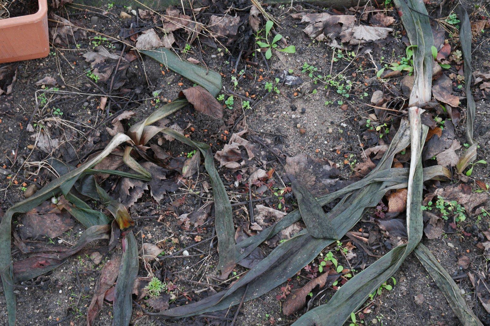 Amaryllis erfroren