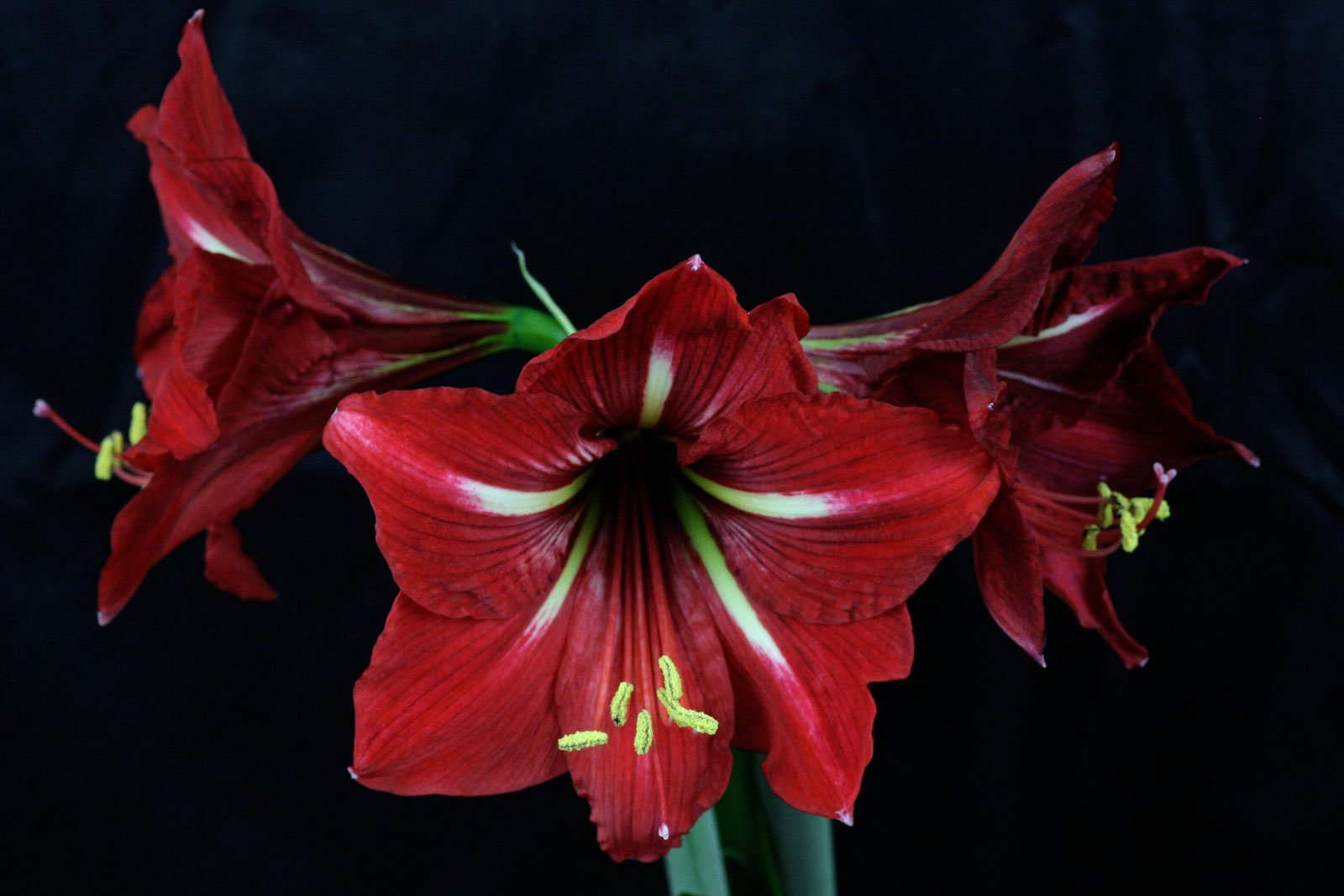 hippeastrum amaryllis kolibri. Black Bedroom Furniture Sets. Home Design Ideas