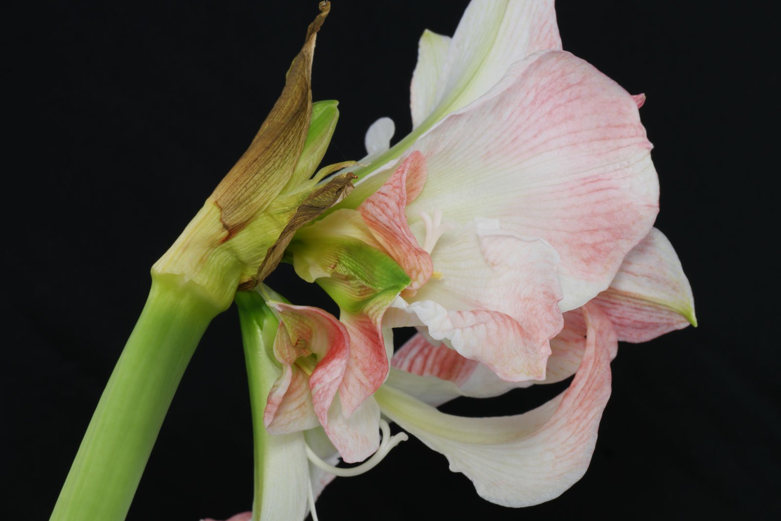 deformierte Amaryllis-Blüte